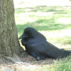 Corvus coronoides (Australian Raven) at Gungahlin, ACT - 4 Mar 2021 by TrishGungahlin