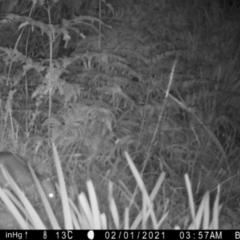 Perameles nasuta (Long-nosed Bandicoot) at Mongarlowe River - 5 Feb 2021 by LisaH