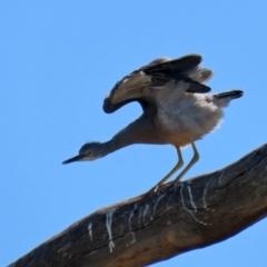 Egretta novaehollandiae (White-faced Heron) at Googong, NSW - 2 Mar 2021 by RodDeb