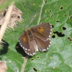 Lucia limbaria (Chequered Copper) at Googong Foreshore - 3 Mar 2021 by RodDeb