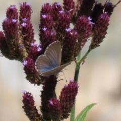 Zizina otis (Common Grass-blue) at Yarrow, NSW - 3 Mar 2021 by RodDeb
