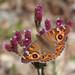 Junonia villida (Meadow Argus) at Googong Foreshore - 3 Mar 2021 by RodDeb