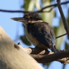 Todiramphus sanctus (Sacred Kingfisher) at Wonga Wetlands - 10 Feb 2021 by WingsToWander