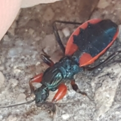 Ectomocoris patricius (Ground assassin bug) at Umbagong District Park - 4 Mar 2021 by tpreston