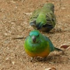 Psephotus haematonotus (Red-rumped Parrot) at Symonston, ACT - 2 Mar 2021 by CallumBraeRuralProperty