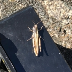 Macrotona australis (Common Macrotona Grasshopper) at Namadgi National Park - 3 Mar 2021 by KMcCue