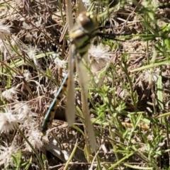 Hemicordulia tau (Tau Emerald) at Namadgi National Park - 3 Mar 2021 by KMcCue