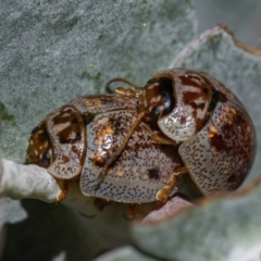 Paropsisterna m-fusca (Eucalyptus Leaf Beetle) at ANBG - 3 Mar 2021 by WHall