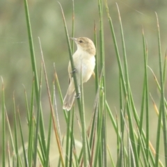 Acrocephalus australis (Australian Reed-Warbler) at Murrumbateman, NSW - 8 Feb 2021 by SimoneC