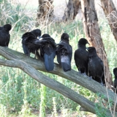 Corcorax melanorhamphos at Red Hill Nature Reserve - 4 Mar 2021