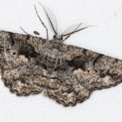 Unplaced externaria (Mahogany Bark Moth) at Melba, ACT - 19 Feb 2021 by Bron