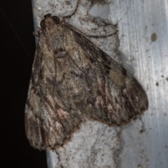 Salma cinerascens (A Pyralid moth) at Melba, ACT - 19 Feb 2021 by Bron