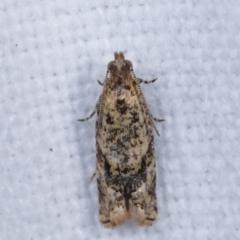 Isochorista ranulana (A Tortricid moth) at Melba, ACT - 1 Mar 2021 by kasiaaus