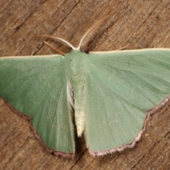 Prasinocyma semicrocea (Common Gum Emerald) at Melba, ACT - 1 Mar 2021 by kasiaaus