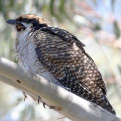 Eudynamys orientalis at Kambah, ACT - 5 Mar 2021