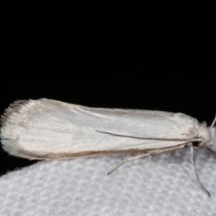 Philobota productella (Pasture Tunnel Moth) at Melba, ACT - 1 Mar 2021 by kasiaaus