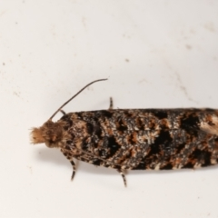 Isochorista pumicosa (A Tortricid moth) at Melba, ACT - 1 Mar 2021 by kasiaaus