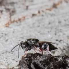 Chalcididae sp. (family) (Unidentified chalcid wasp) at Bruce, ACT - 5 Mar 2021 by Roger