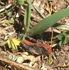Austroicetes sp. (genus) (A grasshopper) at Tharwa Bridge - 4 Mar 2021 by Ned_Johnston