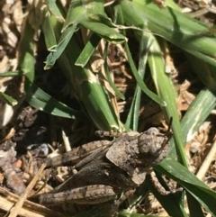Pycnostictus sp. (genus) (A bandwing grasshopper) at Tharwa Bridge - 4 Mar 2021 by Ned_Johnston