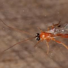 Ichneumonidae sp. (family) (Unidentified ichneumon wasp) at Melba, ACT - 1 Mar 2021 by kasiaaus