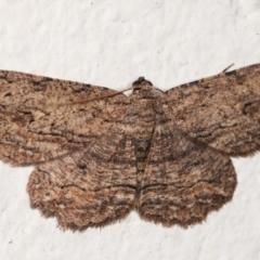 Ectropis excursaria (Common Bark Moth) at Melba, ACT - 1 Mar 2021 by kasiaaus