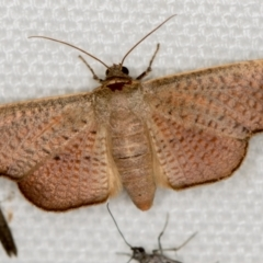 Aglaopus centiginosa (Dark-fringed Leaf Moth) at Melba, ACT - 20 Feb 2021 by Bron