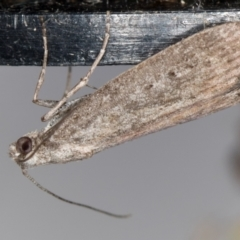Heteromicta pachytera (Pyralid moth) at Melba, ACT - 19 Feb 2021 by Bron
