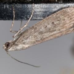 Heteromicta pachytera (Pyralid moth) at Melba, ACT - 19 Feb 2021 by Bron