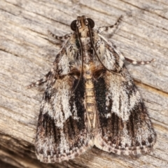 Spectrotrota fimbrialis (A Pyralid moth) at Melba, ACT - 1 Mar 2021 by kasiaaus