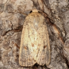 Proteuxoa (genus) (A Noctuid moth) at Melba, ACT - 2 Mar 2021 by kasiaaus