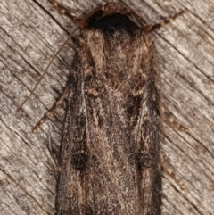 Agrotis ipsilon (Black Cutworm) at Melba, ACT - 2 Mar 2021 by kasiaaus