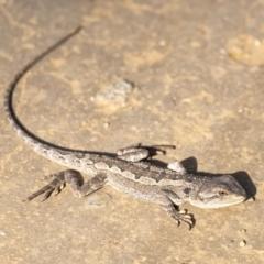Amphibolurus muricatus (Jacky Dragon) at Wingecarribee Local Government Area - 1 Mar 2021 by Aussiegall