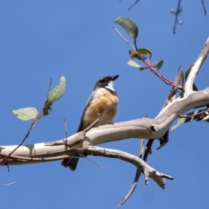 Pachycephala rufiventris (Rufous Whistler) at Morton National Park by Aussiegall