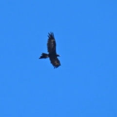 Aquila audax (Wedge-tailed Eagle) at Jerrabomberra Grassland - 4 Mar 2021 by RodDeb