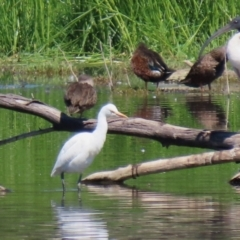 Bubulcus ibis (Cattle Egret) at Jerrabomberra Wetlands - 5 Mar 2021 by RodDeb
