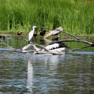 Bubulcus ibis at Jerrabomberra Wetlands - 5 Mar 2021