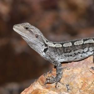 Amphibolurus muricatus at ANBG - 5 Mar 2021