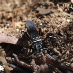 Turneromyia sp. (genus) (Zebra spider wasp) at Cook, ACT - 3 Mar 2021 by Tammy