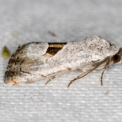 Armactica conchidia (Conchidia Moth) at Melba, ACT - 20 Feb 2021 by Bron