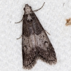 Aphomia baryptera (A pyralid moth) at Melba, ACT - 20 Feb 2021 by Bron