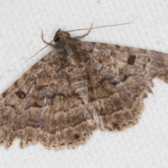 Diatenes aglossoides (An Eribid moth) at Melba, ACT - 20 Feb 2021 by Bron