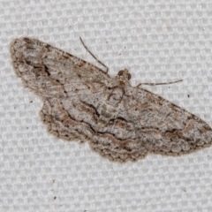 Didymoctenia exsuperata (Thick-lined Bark Moth) at Melba, ACT - 20 Feb 2021 by Bron