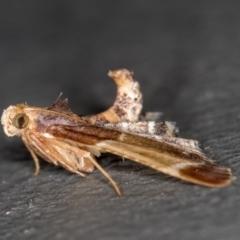 Pyralis farinalis (Meal Moth) at Melba, ACT - 20 Feb 2021 by Bron