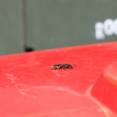 Crabroninae sp. (subfamily) (TBC) at Cook, ACT - 14 Feb 2021 by Tammy
