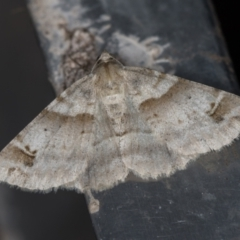 Syneora hemeropa (Ring-tipped Bark Moth) at Melba, ACT - 20 Feb 2021 by Bron