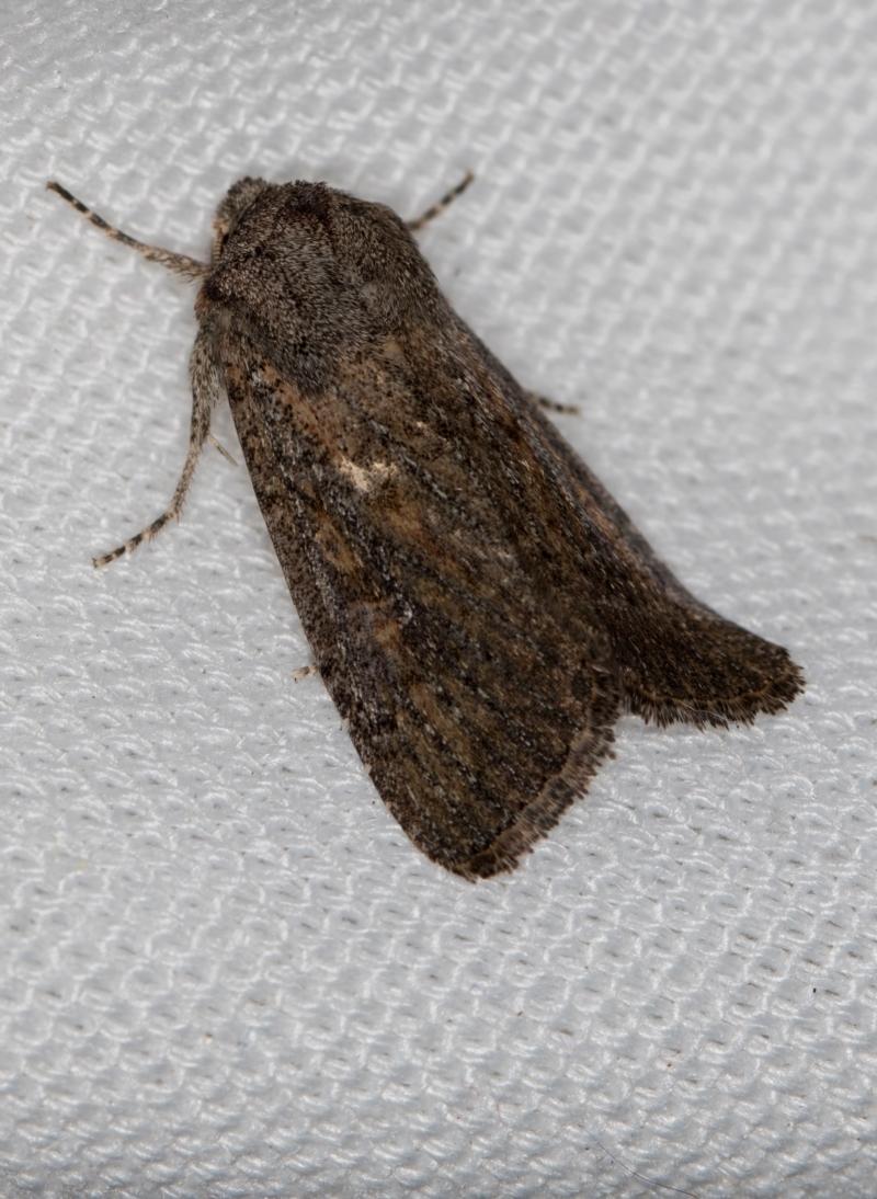 Proteuxoa (genus) at Melba, ACT - 20 Feb 2021