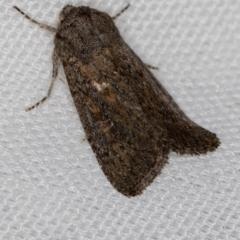 Proteuxoa (genus) (A Noctuid moth) at Melba, ACT - 20 Feb 2021 by Bron