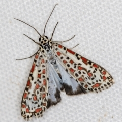 Utetheisa pulchelloides (Heliotrope Moth) at Melba, ACT - 20 Feb 2021 by Bron