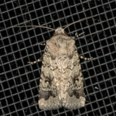 Proteuxoa capularis (Half-moon Noctuid) at Melba, ACT - 20 Feb 2021 by Bron